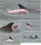 albino-dolphin MIX