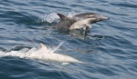 albino-dolphin_cropped