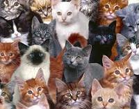 tipos-de-gatos